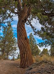 Juniper (dave dube') Tags: oregon bend juniper bendoregon