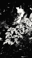 new beauty (iamlewolf) Tags: autumn blackandwhite sun white black fall beautiful beauty leaves sunshine photography grey photo flickr pretty edited gray samsung sunny photograph grayscale simple hdr edit greyscale selectivefocus simplistic note4 samsungnote4
