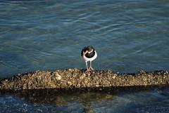 Scholekster / Oyster catcher (vanderven.patrick) Tags: sea bird beach strand nikon zee oystercatcher nikkor vogel 70300 d60 scholekster duindorp