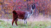What Are a you Looking At? (The New England Fox) Tags: field farm llama livestock eatinggrass