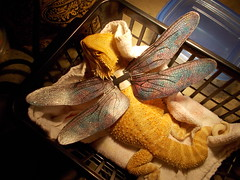 DSCN3553 (Cane's Folly SL) Tags: dragons fairies lizards beardies winstonsalem beardeddragon faeries reptiles fae curlytail reptileshow fairywings curlysue petcostume dragonwings repticon dollwings petwings bjdwings wyrmcraft reptiday