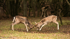 Deer fighting ... (Alex Verweij) Tags: man young deer duinen awd jong spelen mannetjes damhert waterleidingduinen territorium damherten bronst hertenbronst afschieten
