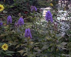Aconitum carmichaelii 'Arendsii'