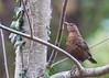 But, If You're Thinkin' About My Baby... (Kaipullai(கைப்புள்ள)) Tags: mountain female united kingdom michaeljackson ash rowan middlesex blackbird blackorwhite passerine gardenbird nikond90 nikkor70300mmvr