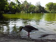 """Pato en el lago del Parque de la Ciudadela • <a style=""""font-size:0.8em;"""" href=""""http://www.flickr.com/photos/78328875@N05/22656192484/"""" target=""""_blank"""">View on Flickr</a>"""