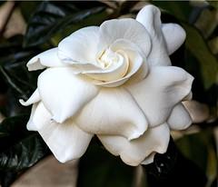 Gardenia... (Anni - back, but not trying to catch-up) Tags: white gardens gardenia aimeeyoshiba