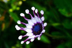 A Most Unusual Thing (Lynleigh Cooper) Tags: travel flowers blue summer vacation favorite white canada flower color detail macro green love nature floral colors beautiful beauty leaves gardens garden fun outside outdoors photography photo petals amazing flora nikon colorful soft pretty purple natural britishcolumbia unique gorgeous awesome small smooth victoria depthoffield adventure explore tiny micro stunning daisy bloom unusual blooms lovely elegant butchartgardens naturalbeauty florals upclose rare wanderer 2012 blooming traveler bolshevik macrophotography primelens d7000