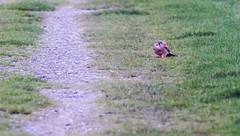 Kez 30m in front of us (mistagain1 (Working away catch up soon)) Tags: uk november england bird nature nikon natural hawk somerset raptor gb british nikkor kestrel birdofprey kez 2015 britishbirdofprey d7200 300mmafsf414tc