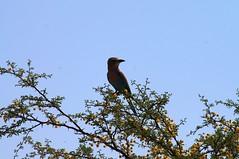 Lilac Breasted Roller (tim ellis) Tags: holiday bird southafrica roller kalahari northerncape lilacbreastedroller kgalagadi kgalagaditransfrontierpark transfrontierpark coraciascaudatus tweerivieren xauslodge raremammals