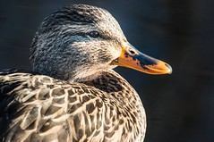 Pretty Girl With No Makeup (jeanmarie shelton) Tags: bird duck raw waterfowl unprocessed straitoutofthecamera jeanmariesphotography jeanmarieshelton