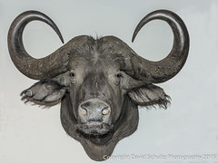 Water Buffalo (dschultz742) Tags: nikon taxidermy nikkor waterbuffalo d810 bubalusbubalis cornerstonesonoma davidschultzphotographycom 12052015