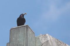 El gusanito (carlos_ar2000) Tags: food naturaleza bird nature argentina animal buenosaires comida ave pajaro worm gusano puertomadero