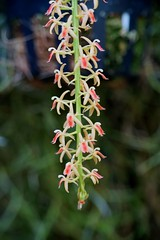 リパリス属の1種/ Liparis SP (nobuflickr) Tags: orchid flower nature japan kyoto 日本 花 蘭 thekyotobotanicalgarden 京都府立植物園 awesomeblossoms liparissp リパリス属の1種 ラン科リパリス属 20151028dsc01377