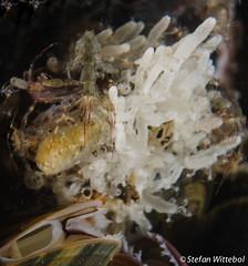 A female Caprellidae