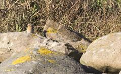 Wheatear (Mark Illand) Tags: wheatear bird nature wildlife photography west kilbride ayrshire beach coast scotland sony alpha a77 sal70300g outdoor rspb bto