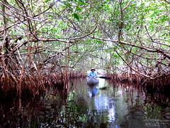 Anglų lietuvių žodynas. Žodis mangroves reiškia mangroviai lietuviškai.