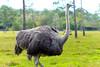 Ostrich (Austrinus) Tags: avestruz ostrich