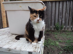 Autumn (universalcatfanatic) Tags: cats autumn tortoiseshell tortie calico orange black white cat sit sitting storage container bin beige green tall wood wooden fence backyard back yard vegetable garden deck soil dirt brown ears ear spring