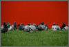 strike (Armin Fuchs) Tags: arminfuchs bird taube pigeon dove red grey green pan