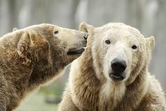 Sizzel and Todz (K.Verhulst) Tags: sizzel todz ijsberen ijsbeer polarbears polarbear bears beren blijdorp blijdorpzoo diergaardeblijdorp rotterdam