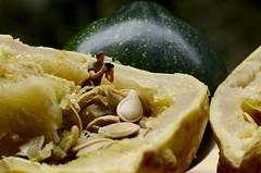 """Macro Mondays""  ""It's Alive"" (giancarlo_darrigo) Tags: macromondays itsalive macro semidizucca semi excelente pumpkin explore"