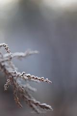 Instant figé (Sylvain Paligot - Captures de lumières) Tags: ice gel givre glace hiver winter macro macrophotography macrophotographie
