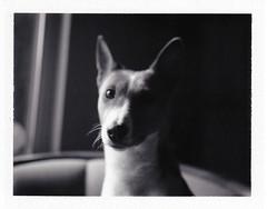 Rachael Portrait (bac1967) Tags: rachael basenji dog bitch pup puppy hound polaroid fp3000b fuji fujifilm fujifilmfp3000b pack film packfilm blackandwhite bw monochrome monotone protrait naturallight littledoglaughedstories littledoglaughednoiret