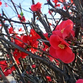 Chaenomeles of de Japanse sierkwee