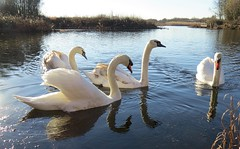 We are family ... (Feathering the Nest) Tags: swan swans cygnets llanelli wwt water sunshine winter january birthday 2017 family wales ripples reflections
