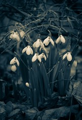 New Beginnings? (Katrina Wright) Tags: dsc0169 snowdrops flowers white hope rebirth galanthus fear spring