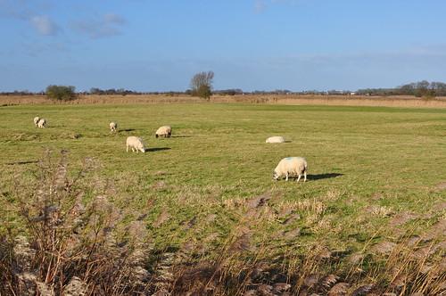 A sheep field near Stokesby, Norfolk