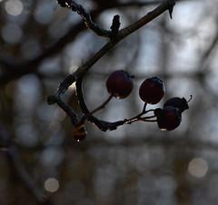 Aubépine (Oulalla) Tags: aubépine baie gelée goutte arbre branche fruit rouge bokeh nikon d600