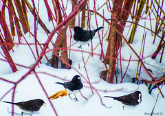 beautiful-birds-out-feeding-on-a-mild-January-day (fadelemad324) Tags: canada snow january birds winter nikon nik d7000 dslr ottawa