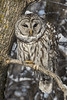 Sleepy Look (A.Joseph Images) Tags: barred owl wildlife bird quebec canada winter d7200 nikkor70200f28 nature