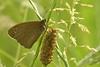 Bruin zandoogje - Pyronia tithonius (henk.wallays) Tags: aaaa arthropoda butterfly edelfalter falter grossesochsenauge græsrandøje henkwallays insect jurtina laloba lemyrtil lepidoptera maniola maniolajurtina mariposa meadowbrown myrtil nagyökörszemlepke nature nymphalidae okáčluční očkáňlúčny paprastasisjautakissatyras przestrojnikjurtina pļavasvēršacītis rappringvinge schmetterlinge slåttergräsfjäril tagfalter tummahäränsilmä vlinders zandoogjes bruinzandoogje butterflies closeup dagvlinder insecta insecte insekt lepidoptere macro natuur papillon skubvlerkiges sommerfugl vlinder wildlife çayıresmeri ô·tia̍p πεταλούδα дневнитепеперуди лускакрылыя тәңкәҡанатлылар күбәләктәр матылі
