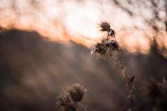 Beige (katarri) Tags: nikon nikond750 nikkor 50mm 14 nature flora flowers flower plant plants outdoor outside meadow countryside beige brown autumn winter sunset sunlight sunshine bokeh bokhlicious poland polska dark light black orange grey silver