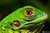 Green Iguana (Kenlysoto_photography) Tags: iguana reptile reptil fauna green eyes macro closeup extensiontubes nikonist nikon d3200 50mm niftyfifty f18 animal wildlife verde ojo eye scales skin puertorico