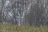 Kornweihe m Belegbild , NGIDn1031395660 (naturgucker.de) Tags: ngidn1031395660 naturguckerde kornweihecircuscyaneuse maurach caxelprehl