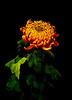 IMGP2702 Chrythansemum (tsuping.liu) Tags: outdoor organicpatttern plant photoborder perspective petal blackbackground blooming flower nature natureselegantshots naturesfinest