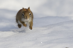 On the move (tsandra996) Tags: winter squirrel red snow cold freezing wildlife ottawa ontario canada nature wild