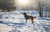 _DSC5134 (sochacki.info) Tags: szyszka griffon wirehaired pointing wpg gundog winter snow hunting dog poland sanok forest walk outside freezing