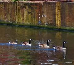 Flotilla (metrogogo) Tags: birmingham flotilla ducks canals paddling lineup birminghamuk water
