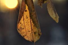 do right (joy.jordan) Tags: leaf texture light sunset winter bokeh mlk