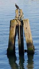 2017-01-19_02-38-00 (madmax557) Tags: cormorant wood water waterways lowestoft lowestoftharbour eastanglia uk england suffolk greatbritain seascape animal wildlifebirds birds seabirds reflection rope