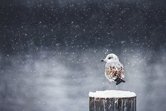 Winter silence (Chris Herzog) Tags: ifttt 500px winter snow snowfall bird gull animal poll nature cold silence waiting patient wether mood lake fakes flakes wildlife standing uncomplaining chilly calm