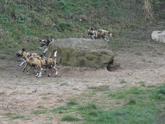 Puppy chase (LadyRaptor) Tags: yorkshirewildlifepark yorkshire wildlife park doncaster ywp nature outdoors animal animals cute canidae canine canines den rocks african wild hunting painted dog dogs pups puppies litter pack play playing fighting chase chasing lycaon pictus