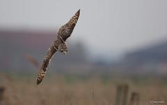 Velduil - Short-eared Owl - Asio flammeus -1448 (Theo Locher) Tags: velduil shortearedowl sumpfohreule hiboudesmarais asioflammeus birds vogels vogel oiseaux belgie belgium copyrighttheolocher