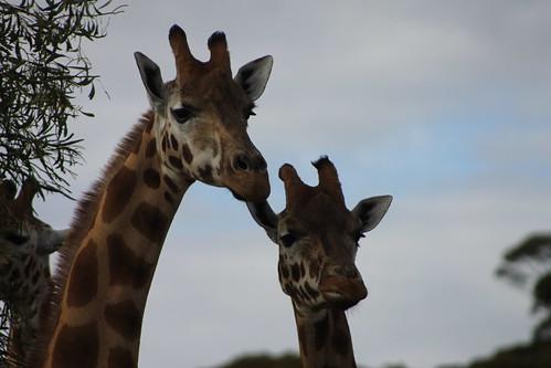 Giraffes at Monarto Zoo