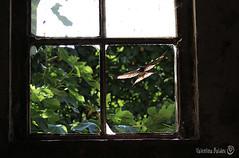 Rondine - swallow (valentinabaldinivb) Tags: swallow rondine