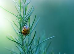 lady bug (spiralgirl1) Tags: summer green garden ladybug